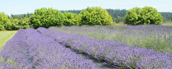 The Evergreen Valley Lavender Farm is located in Olympia, Washington, just 115 miles South of Sequim.