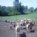 Thumb_bsw_goats_chickens_open_field