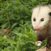 Thumb_opossum_removal_prattville_and_montgomery_al