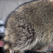 Thumb_racoon_removal_prattville_and_montgomery_al